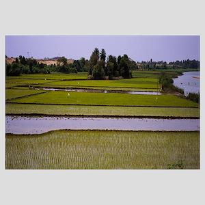 Rice paddy in a field, Tamil Nadu, India