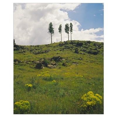 Four ponderosa pine trees on a hill, Coconino Nati Poster