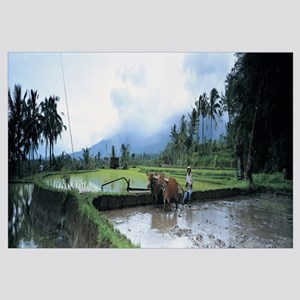 Farmer and oxen plowing a rice paddy field, Bali,