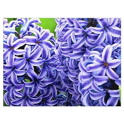 Hyacinth Flower Wall Art Poster