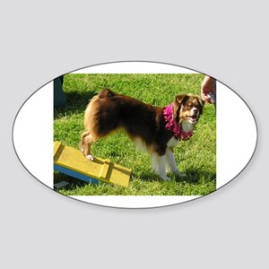 miniature american shepherd at agility trials Stic