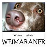 Weimaraner Square Car Magnets