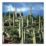 Many Saguaros In Az Square Car Magnet 3