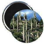 Many Saguaros In Az Magnet