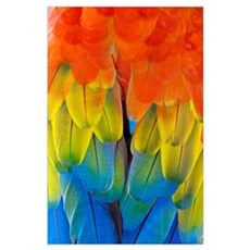 Scarlet macaw plumage Poster