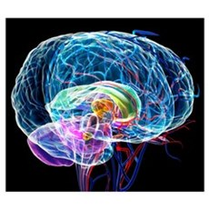 Brain anatomy, artwork Poster