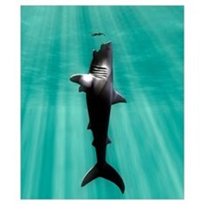 Megalodon prehistoric shark with human Poster