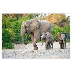 Desert-adapted elephants Poster