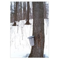 Collecting maple tree sap Poster