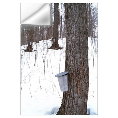 Collecting maple tree sap Wall Decal