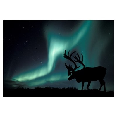 Aurora borealis and caribou Framed Print