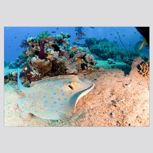 Blue-spotted stingray