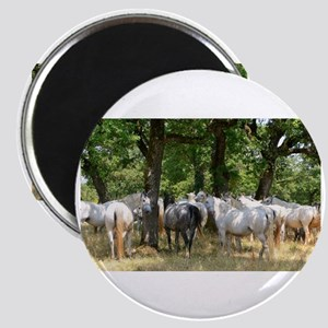 Lipizzaner mares Magnets