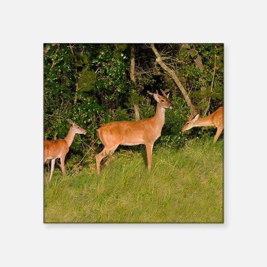 "American White Tail Deer Buck Square Sticker 3"" x"