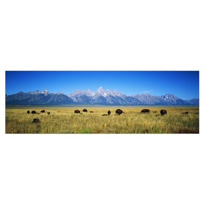 Field of Bison with mountains in background, Grand Framed Print