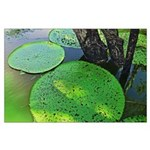 Amazonian Lilly Pads Poster