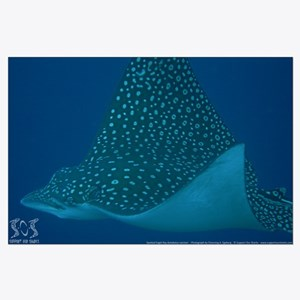 Spotted Eagle Ray 23 x 35 Print