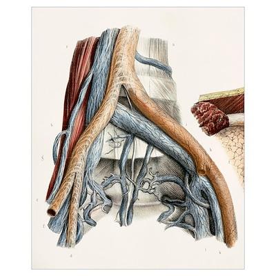 Iliac blood vessel nerves, 1844 artwork Poster