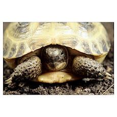 Horsfield tortoise Poster