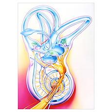 Inner ear Poster