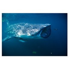 Whale shark and pilot fish Poster