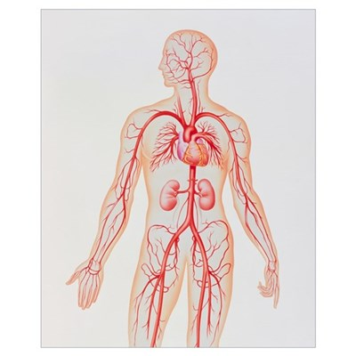 Artwork of human arterial system Poster