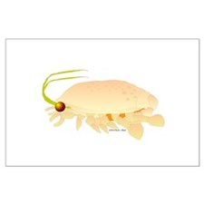 Mole Shrimp Sand Crab Sand Flea Large Poster