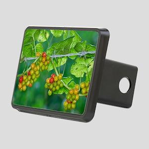 Black Bryony (Tamus communis) berries - Hitch Cove
