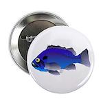 Blue Rockfish (Blue Perch) Scorpionfish fish 2.25