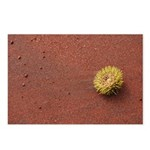 Sea urchin on red sand Postcards (Package of 8)