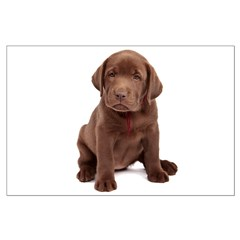 Chocolate Labrador Puppy. Posters