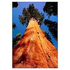 Giant Sequoia 'General Sherman' Poster