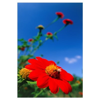 Honeybee pollinating a Mexican sunflower Canvas Art