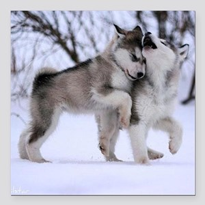 """Wolves Playing Square Car Magnet 3"""" x 3"""""""