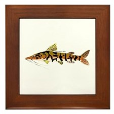 Tiger Shovelnose Catfish (Audreys Amazon River) Fr