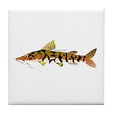 Tiger Shovelnose Catfish (Audreys Amazon River) Ti