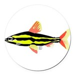 Striped Headstander fish Amazon tropical Round Car