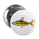 Striped Headstander fish Amazon tropical 2.25