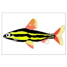 Striped Headstander fish Amazon tropical Large Pos