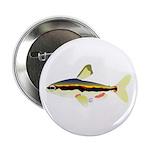 Golden Pencilfish tropical fish Amazon 2.25