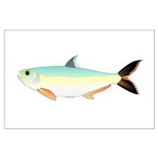 SIlver Dollar fish tropical Amazon river Large Pos