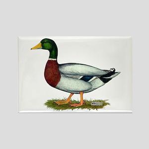 Mallard Duck Drake Rectangle Magnet