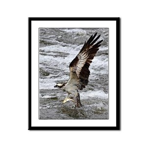 Osprey with fish Framed Panel Print