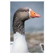 Greylag goose head Poster