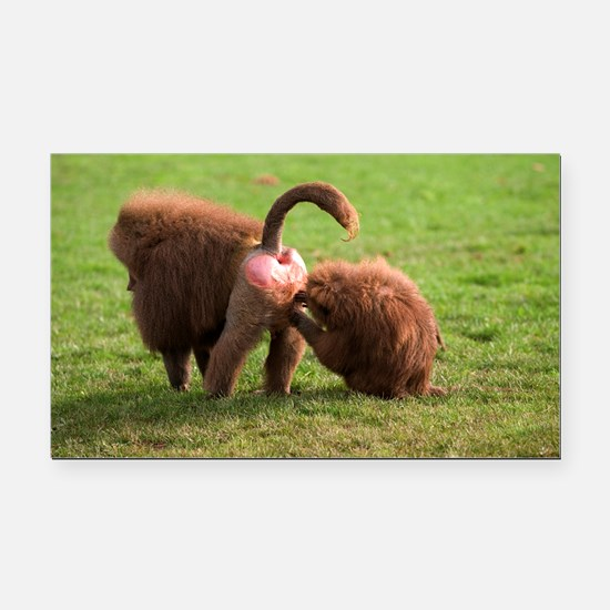 Baboons grooming - Car Magnet