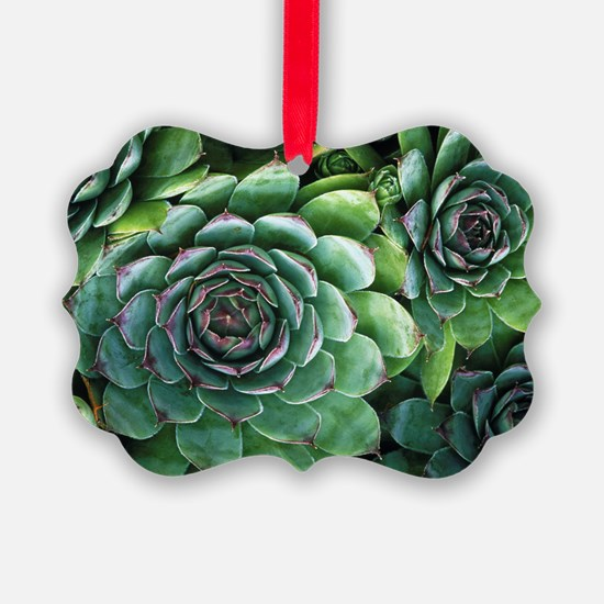 'Hens and chicks' succulents - Ornament