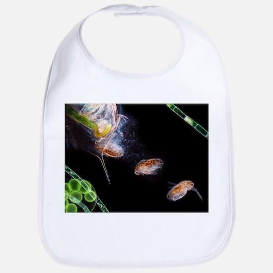 Water flea giving birth - Bib