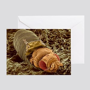 Adult fruit fly hatching, SEM - Greeting Card
