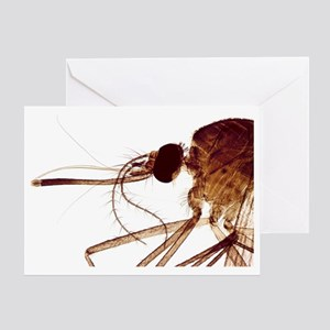 Female mosquito head, light micrograph - Greeting
