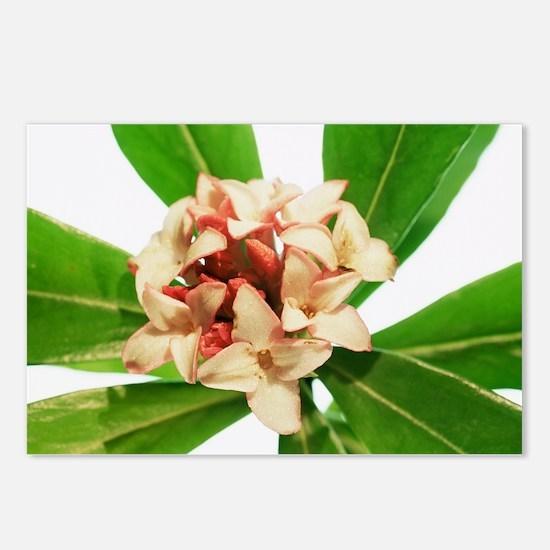 Daphne odora 'Aurea Marginata' - Postcards (Pk of